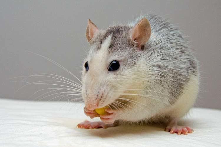 Мышь белая с серым