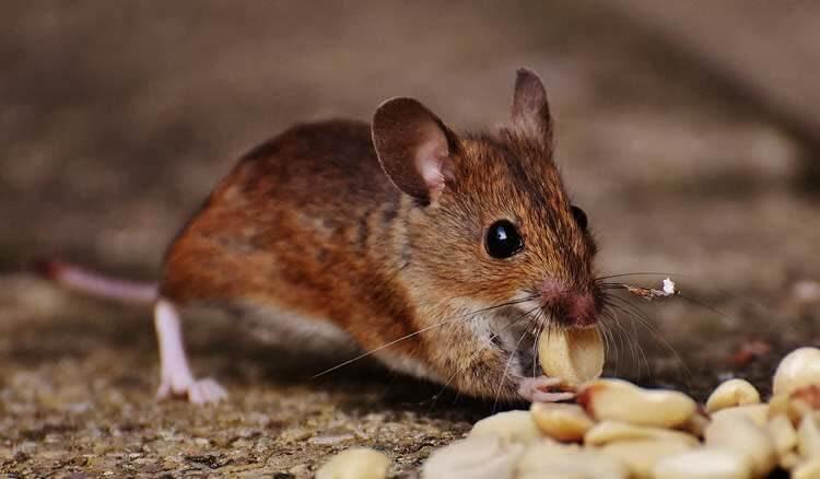 Мышь грызет орехи