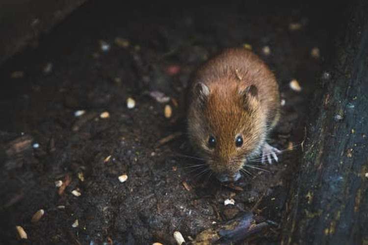 Рыжая мышь на полу